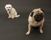 Pug and Maltese. Against Dark Background Stock Image