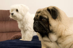 Pug and Maltese Looking. At Someone Royalty Free Stock Photography