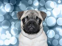 Pug masculino bonito no fundo do bokeh Fotografia de Stock