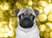 Pug masculino bonito no fundo do bokeh Fotos de Stock