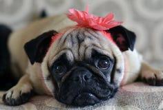 Pug met bloem Stock Fotografie