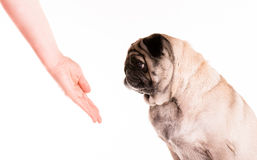 Pug met een hand 2 Royalty-vrije Stock Afbeelding