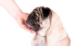 Pug met een hand Royalty-vrije Stock Foto's