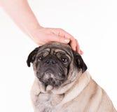 Pug met een hand Stock Fotografie