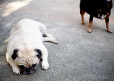 Pug and miniature pincher Stock Photography