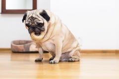 Pug mit einem runden Knochen Lizenzfreies Stockbild