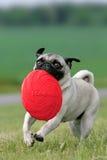 Pug mit Frisbeeplatte Stockfotografie