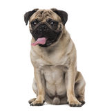 Pug (8 months old) Royalty Free Stock Photography