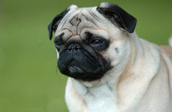 Pug - Mops Royalty Free Stock Photos