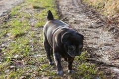 pug mops named adelheid doing winter sun exercise stock photos
