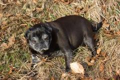 pug mops named adelheid doing winter sun relaxing on a field stock photos