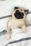 Pug and morning. Morning pug puppy little dog royalty free stock images