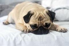 Pug and morning. Morning sleep pug puppy little dog stock images