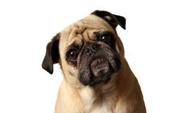 Pug Mug stock photography