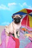 Pug na praia Imagens de Stock Royalty Free