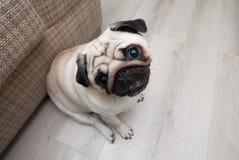 Pug near the sofa Royalty Free Stock Image