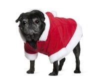 Pug no revestimento de Santa, 10 anos velho Imagem de Stock Royalty Free