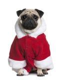 Pug no revestimento de Santa, 2 anos velho Imagem de Stock