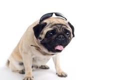 Pug in occhiali da sole Fotografia Stock
