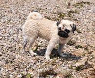 Free Pug On The Beach Stock Photos - 14647533