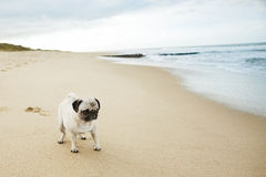 Pug op strand royalty-vrije stock fotografie