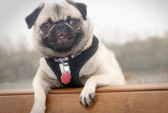 Pug on a park bench. A light colored pug dog standing over a park bench and smiling in front of a foggy, natural background Stock Photography