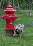 Pug peeing on fire hydrant
