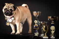 Pug, perfekter Hund mit Preis-gewinnenden Schalen Lizenzfreie Stockfotos