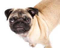 Pug!. Picture of a Puppy Pug, on a white seemless background Stock Photography
