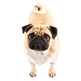 Pug!. Picture of a Puppy Pug, on a white seemless background stock photos
