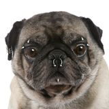 Pug pierced in front of white background Stock Photography