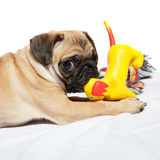 Pug playing with toy Stock Image