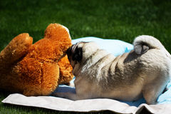 Pug playing with toy Royalty Free Stock Photography