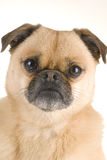Pug-Pomeranian Stock Photo