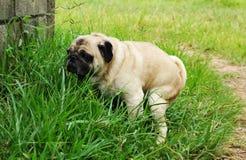 Pug Poo Stock Image