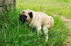 Pug Poo Stock Images