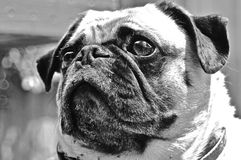 Pug Portraint Royalty Free Stock Images