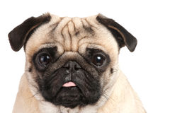 Pug portrait. Isolated over white Stock Photos