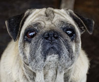 Pug portrait Royalty Free Stock Images