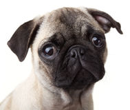 Pug Portrait  Royalty Free Stock Image