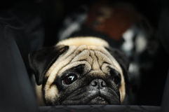 Pug portrait on black background Stock Photography