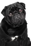 Pug portrait Stock Images