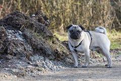 Pug portrait Stock Photo