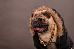 Pug portrait Stock Image