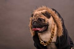 Pug portrait Stock Image