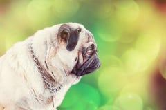 Pug portrait on green blurred background Stock Photo