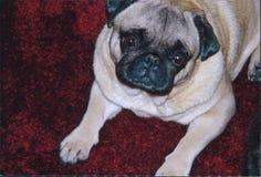 Pug portrait with head tilt listening royalty free stock image