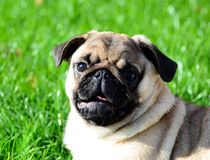 Pug portrait in nature stock photography