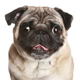 Pug portret op een witte achtergrond stock afbeeldingen