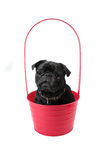 Pug in Pot Stock Images